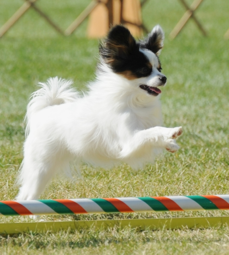 "Papillon-Dog-""The-Cutest-Smartest-Toy-for-Everyone""-21 Papillon Dog Breed ""Cutest & Smartest Gift for Everyone"""