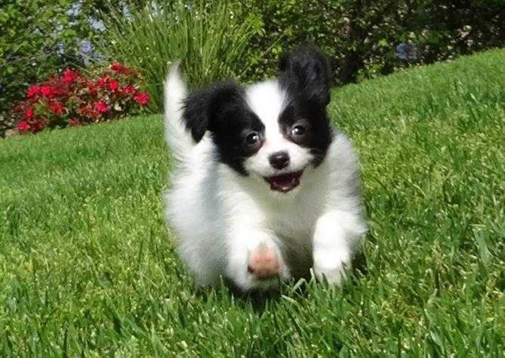 """Papillon-Dog-""""The-Cutest-Smartest-Toy-for-Everyone""""-22 Papillon Dog Breed """"Cutest & Smartest Gift for Everyone"""""""
