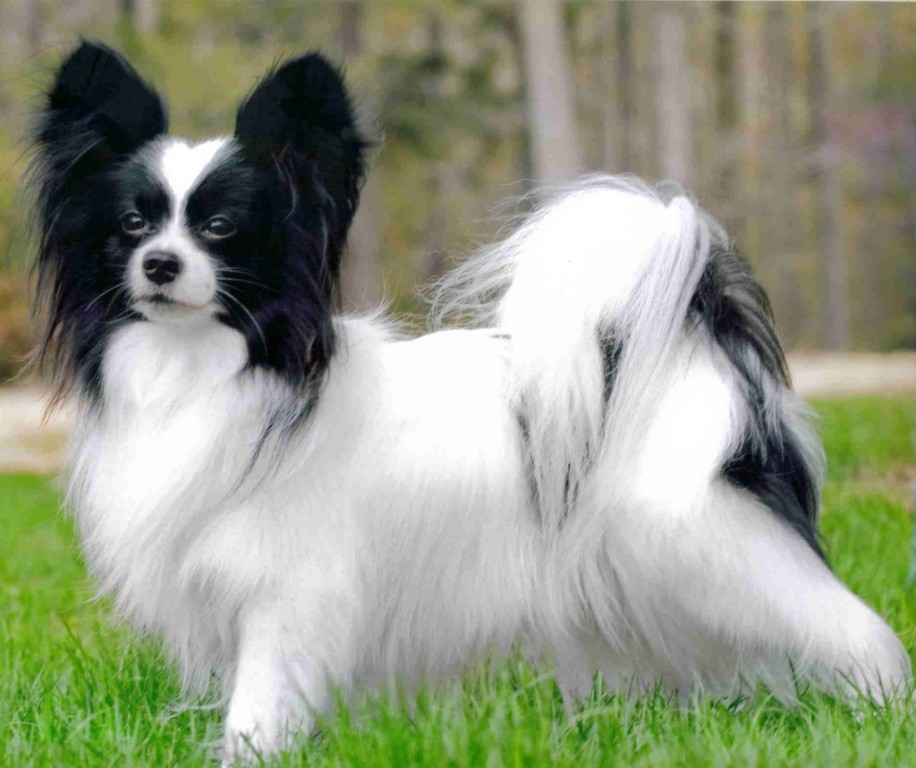 """Papillon-Dog-""""The-Cutest-Smartest-Toy-for-Everyone""""-3 Papillon Dog Breed """"Cutest & Smartest Gift for Everyone"""""""