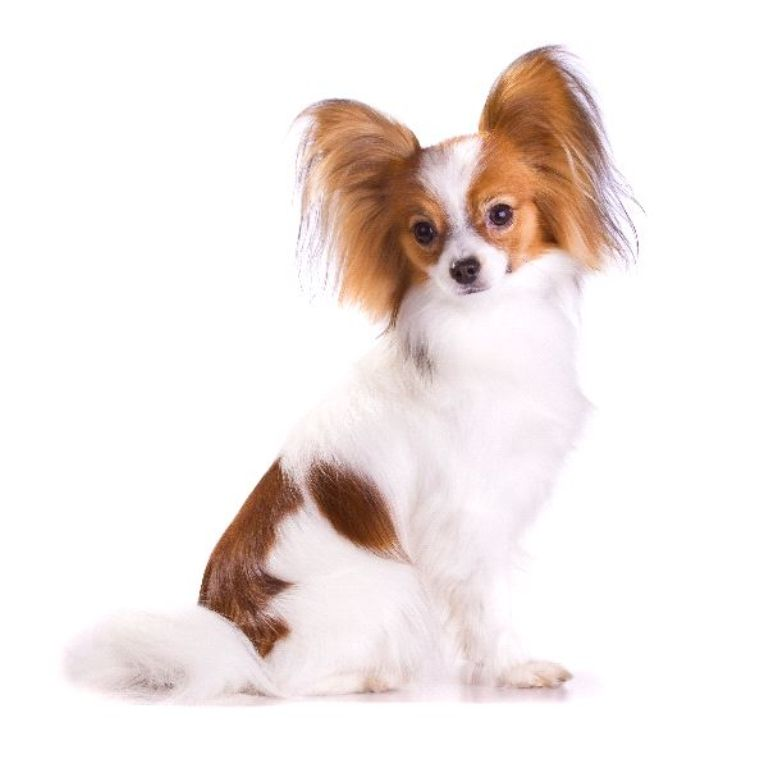 """Papillon-Dog-""""The-Cutest-Smartest-Toy-for-Everyone""""-4 Papillon Dog Breed """"Cutest & Smartest Gift for Everyone"""""""
