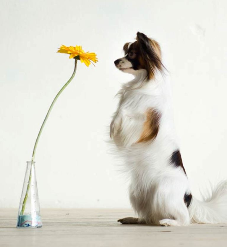 """Papillon-Dog-""""The-Cutest-Smartest-Toy-for-Everyone""""-6 Papillon Dog Breed """"Cutest & Smartest Gift for Everyone"""""""