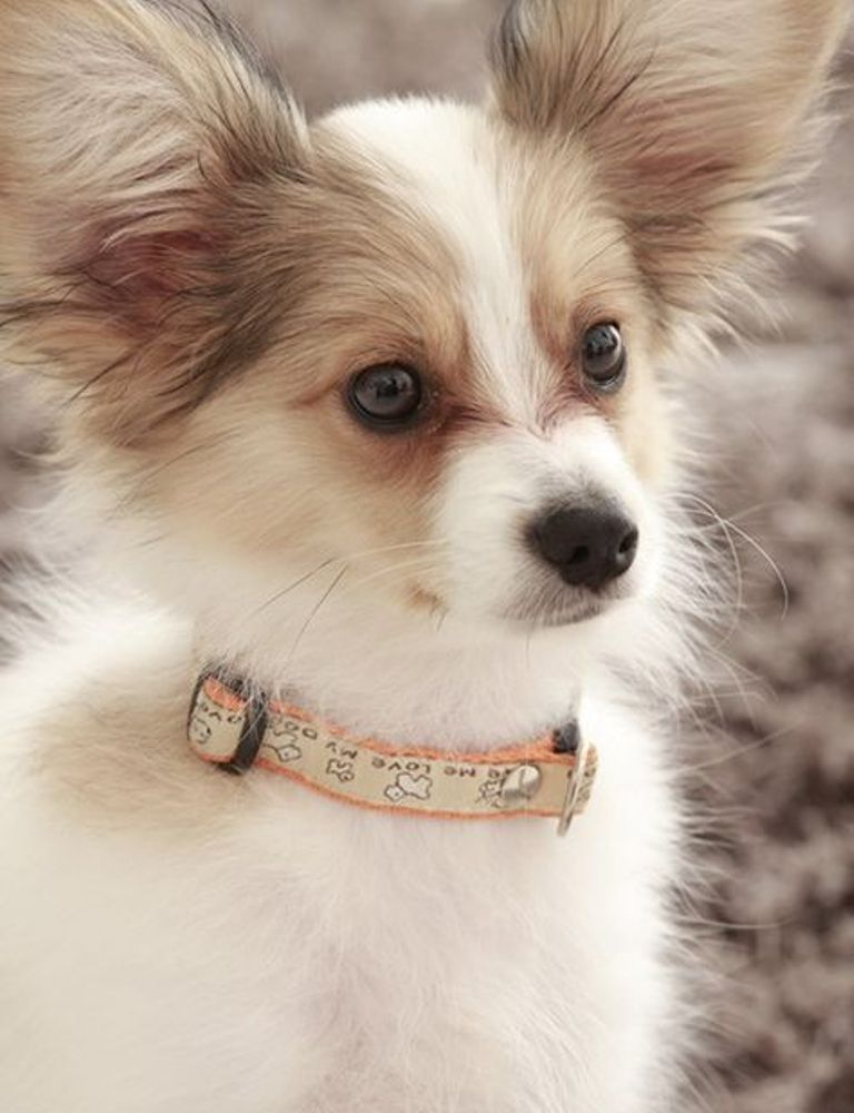"""Papillon-Dog-""""The-Cutest-Smartest-Toy-for-Everyone""""-7 Papillon Dog Breed """"Cutest & Smartest Gift for Everyone"""""""