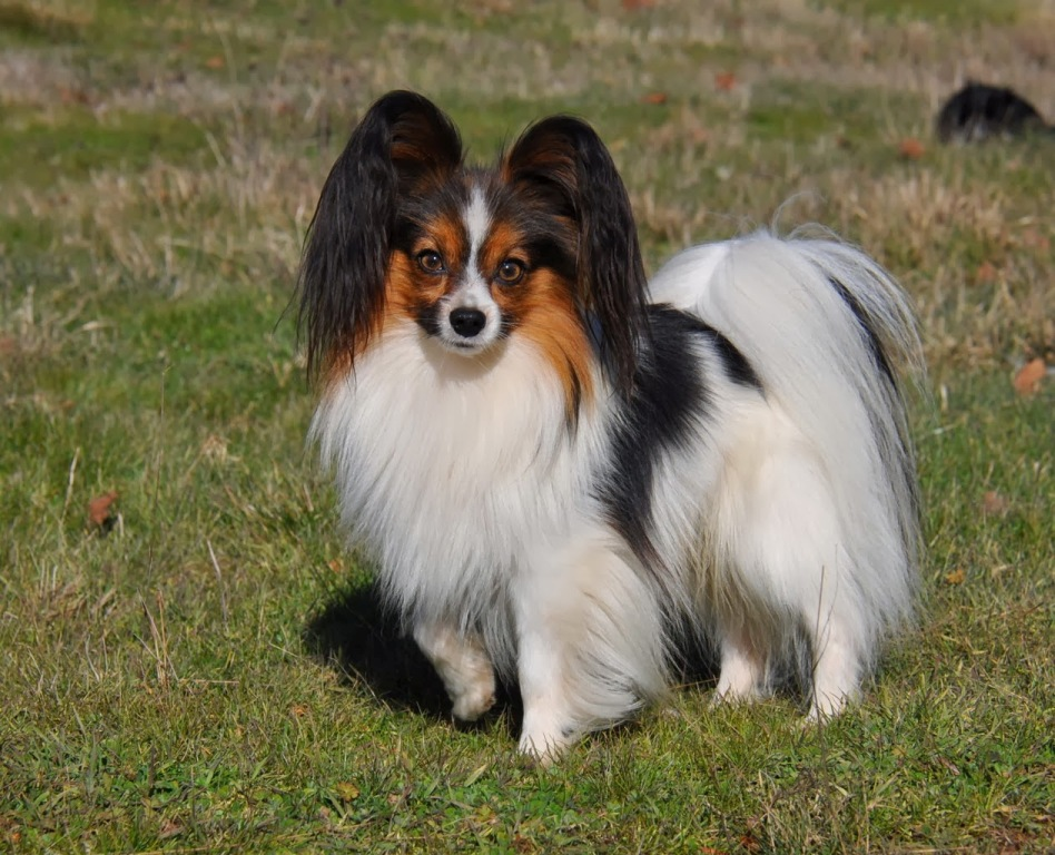 """Papillon-Dog-""""The-Cutest-Smartest-Toy-for-Everyone""""-8 Papillon Dog Breed """"Cutest & Smartest Gift for Everyone"""""""