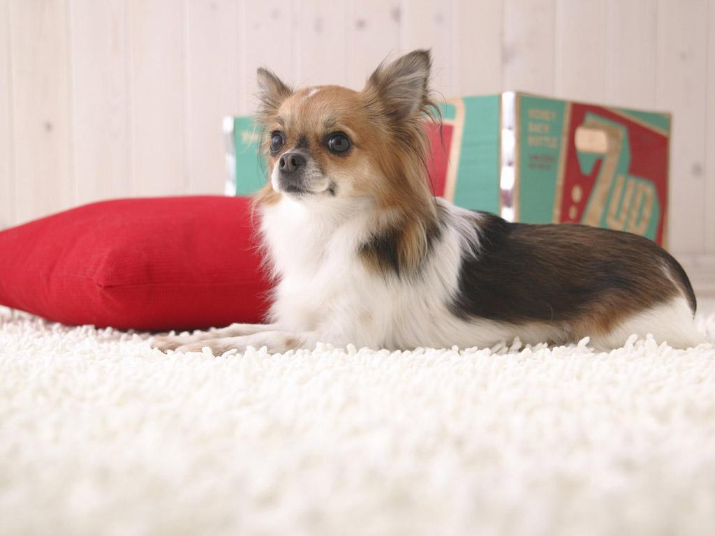 """Papillon-Dog-""""The-Cutest-Smartest-Toy-for-Everyone""""-9 Papillon Dog Breed """"Cutest & Smartest Gift for Everyone"""""""