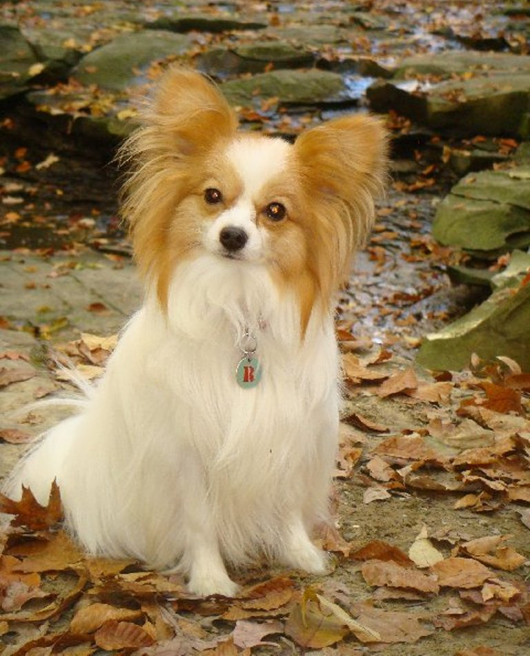 """Papillon-Dog-""""The-Cutest-Smartest-Toy-for-Everyone"""" Papillon Dog Breed """"Cutest & Smartest Gift for Everyone"""""""