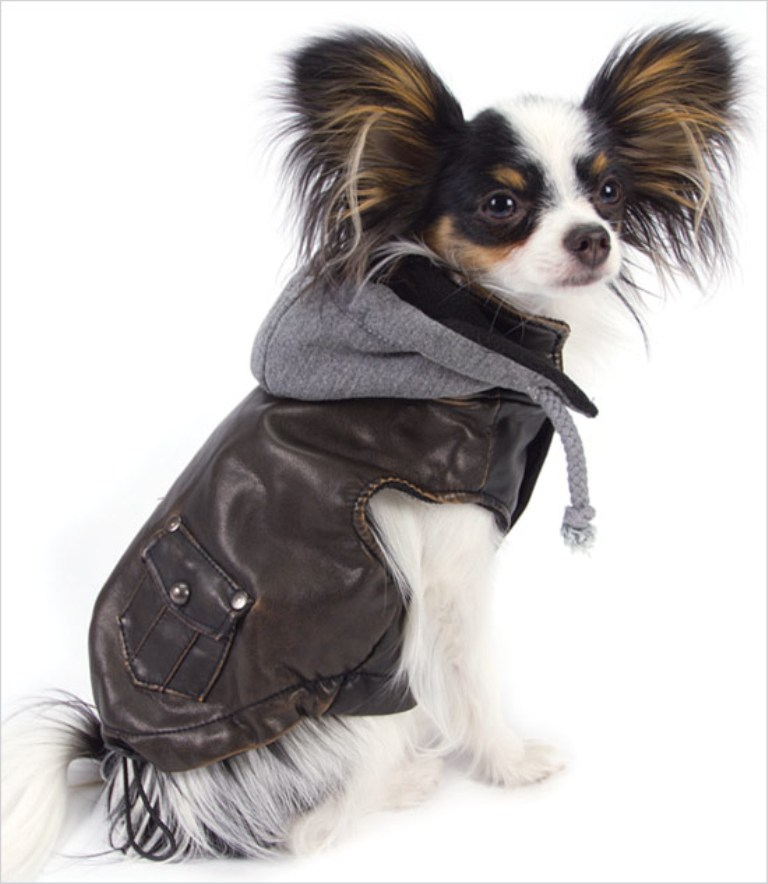 Papillon Dog Breed is Possibly The Cutest Dogs Ever - Wow Amazing