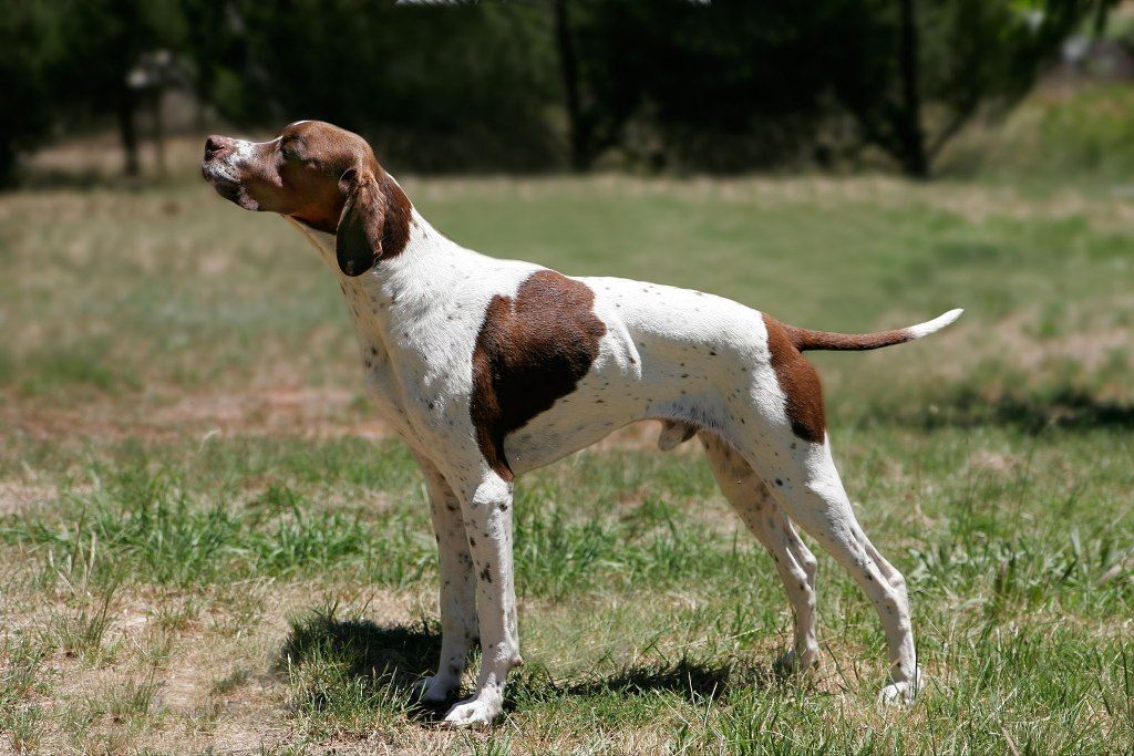 "Pointer-Dog-""The-Perfect-Choice-for-Hunters""-1 7 Exciting Pointer Dog Breed Facts ""The Perfect Choice for Hunters"""