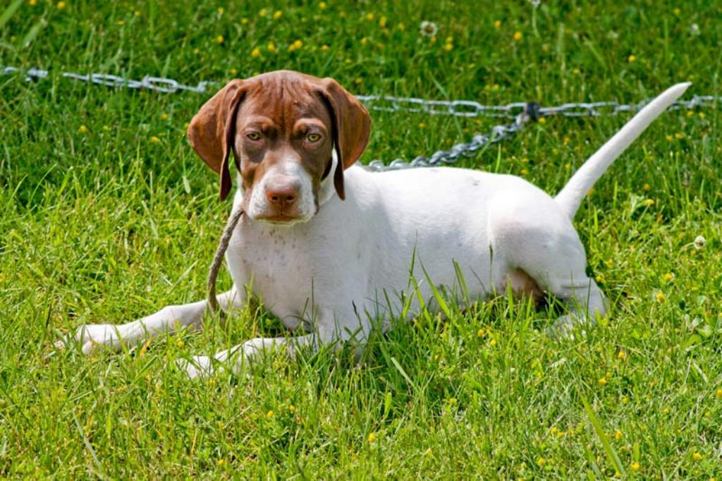 "Pointer-Dog-""The-Perfect-Choice-for-Hunters""-10 7 Exciting Pointer Dog Breed Facts ""The Perfect Choice for Hunters"""
