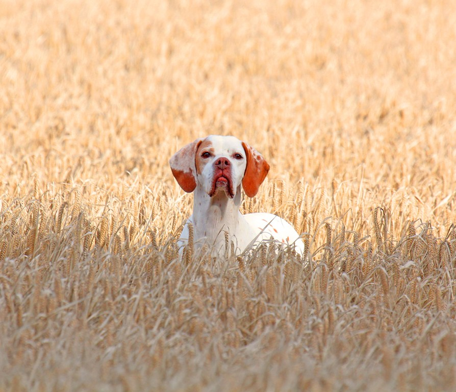 "Pointer-Dog-""The-Perfect-Choice-for-Hunters""-11 7 Exciting Pointer Dog Breed Facts ""The Perfect Choice for Hunters"""