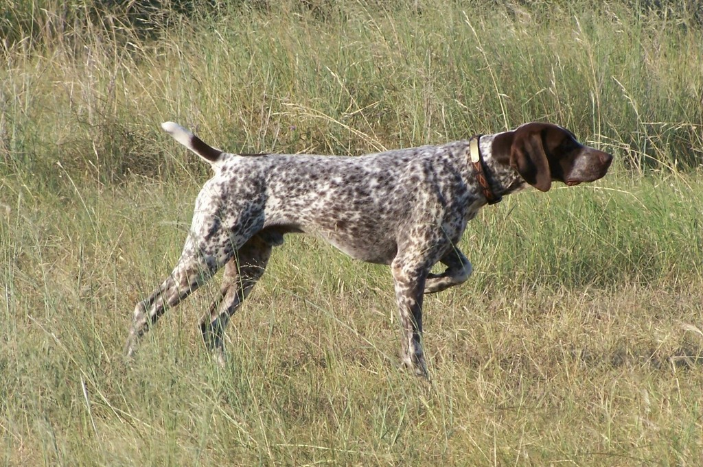 """Pointer-Dog-""""The-Perfect-Choice-for-Hunters""""-13 7 Exciting Pointer Dog Breed Facts """"The Perfect Choice for Hunters"""""""