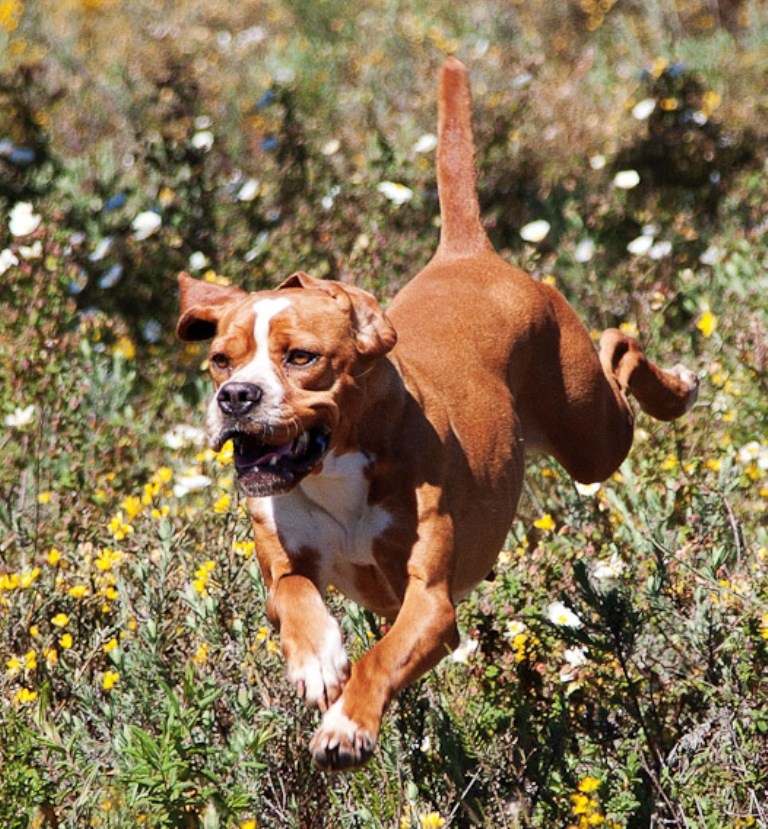 "Pointer-Dog-""The-Perfect-Choice-for-Hunters""-14 7 Exciting Pointer Dog Breed Facts ""The Perfect Choice for Hunters"""