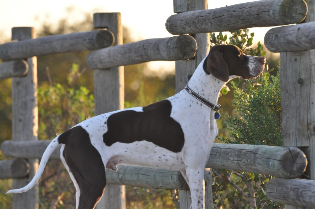 "Pointer-Dog-""The-Perfect-Choice-for-Hunters""-19 7 Exciting Pointer Dog Breed Facts ""The Perfect Choice for Hunters"""