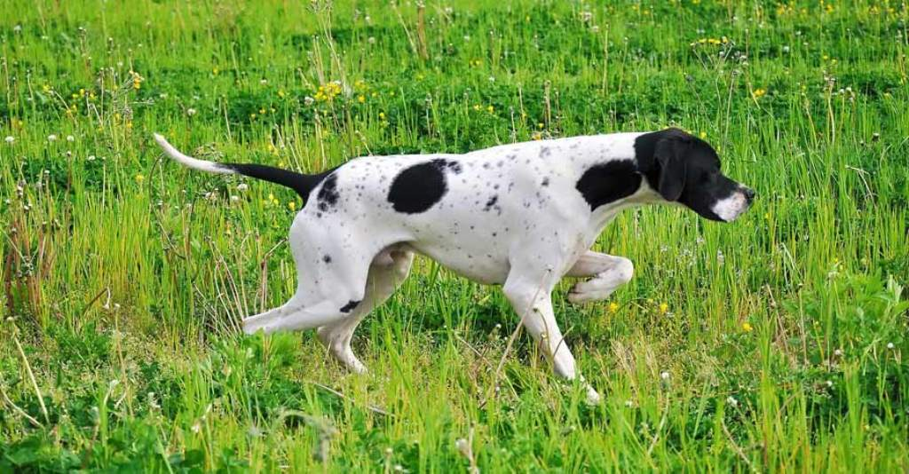 "Pointer-Dog-""The-Perfect-Choice-for-Hunters""-2 7 Exciting Pointer Dog Breed Facts ""The Perfect Choice for Hunters"""