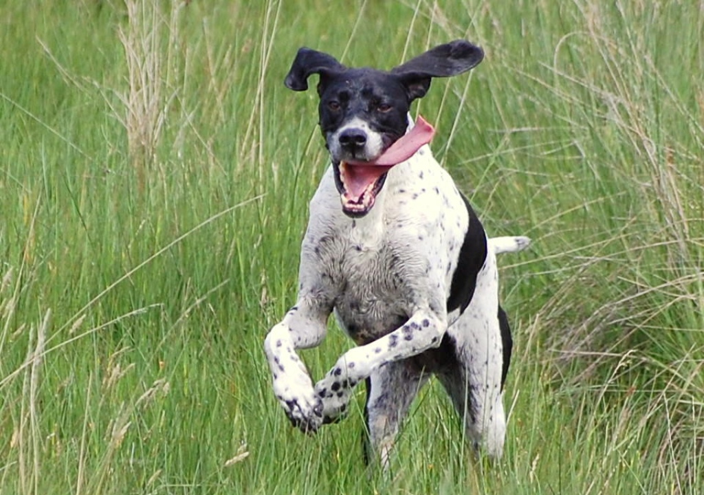 """Pointer-Dog-""""The-Perfect-Choice-for-Hunters""""-20 7 Exciting Pointer Dog Breed Facts """"The Perfect Choice for Hunters"""""""