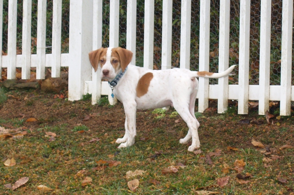 "Pointer-Dog-""The-Perfect-Choice-for-Hunters""-21 7 Exciting Pointer Dog Breed Facts ""The Perfect Choice for Hunters"""