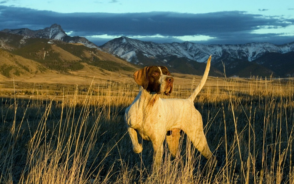 "Pointer-Dog-""The-Perfect-Choice-for-Hunters""-22 7 Exciting Pointer Dog Breed Facts ""The Perfect Choice for Hunters"""
