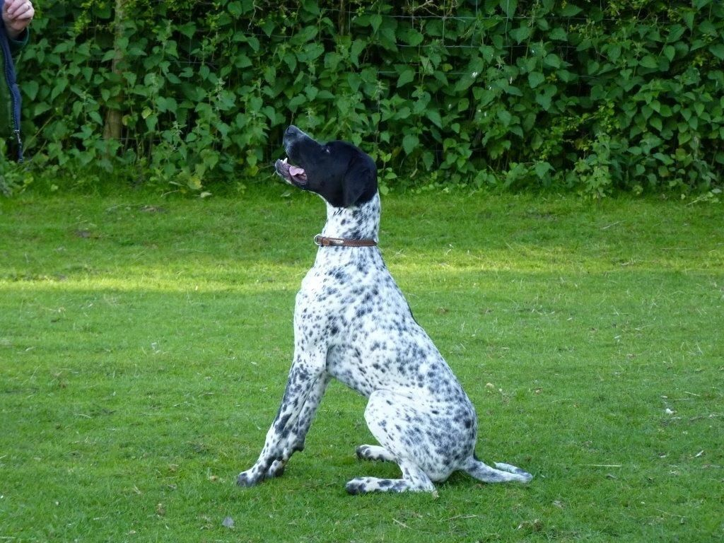 """Pointer-Dog-""""The-Perfect-Choice-for-Hunters""""-23 7 Exciting Pointer Dog Breed Facts """"The Perfect Choice for Hunters"""""""