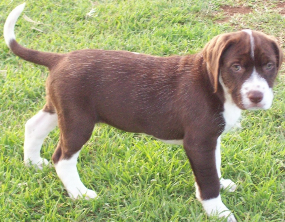 """Pointer-Dog-""""The-Perfect-Choice-for-Hunters""""-24 7 Exciting Pointer Dog Breed Facts """"The Perfect Choice for Hunters"""""""