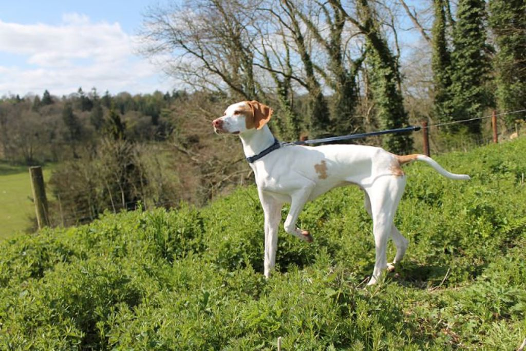 "Pointer-Dog-""The-Perfect-Choice-for-Hunters""-25 7 Exciting Pointer Dog Breed Facts ""The Perfect Choice for Hunters"""
