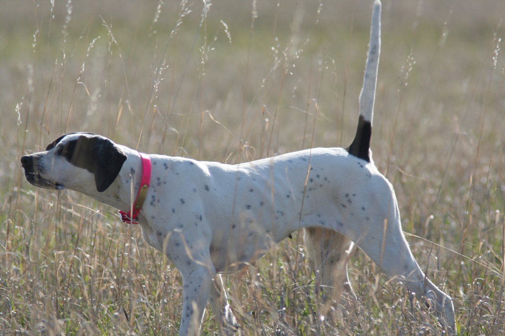 """Pointer-Dog-""""The-Perfect-Choice-for-Hunters""""-26 7 Exciting Pointer Dog Breed Facts """"The Perfect Choice for Hunters"""""""