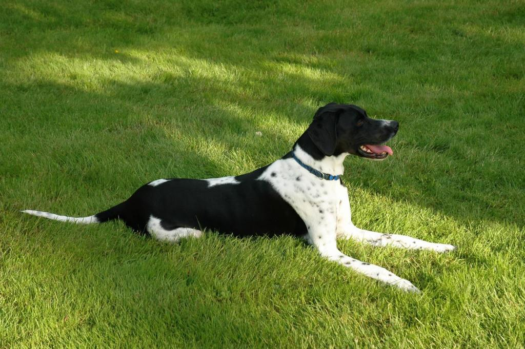 """Pointer-Dog-""""The-Perfect-Choice-for-Hunters""""-3 7 Exciting Pointer Dog Breed Facts """"The Perfect Choice for Hunters"""""""