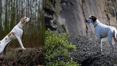 """Photo of 7 Exciting Pointer Dog Breed Facts """"The Perfect Choice for Hunters"""""""