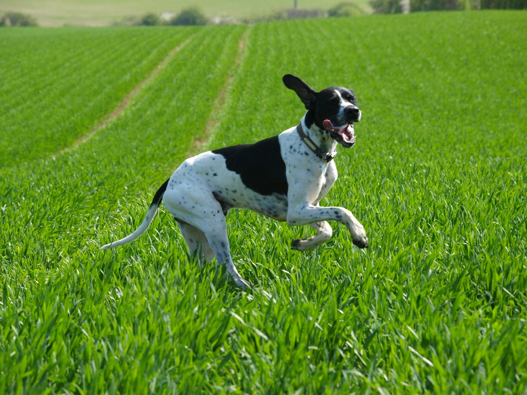 """Pointer-Dog-""""The-Perfect-Choice-for-Hunters""""-4 7 Exciting Pointer Dog Breed Facts """"The Perfect Choice for Hunters"""""""