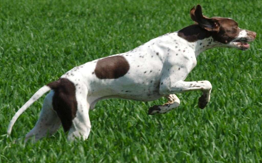 """Pointer-Dog-""""The-Perfect-Choice-for-Hunters""""-5 7 Exciting Pointer Dog Breed Facts """"The Perfect Choice for Hunters"""""""