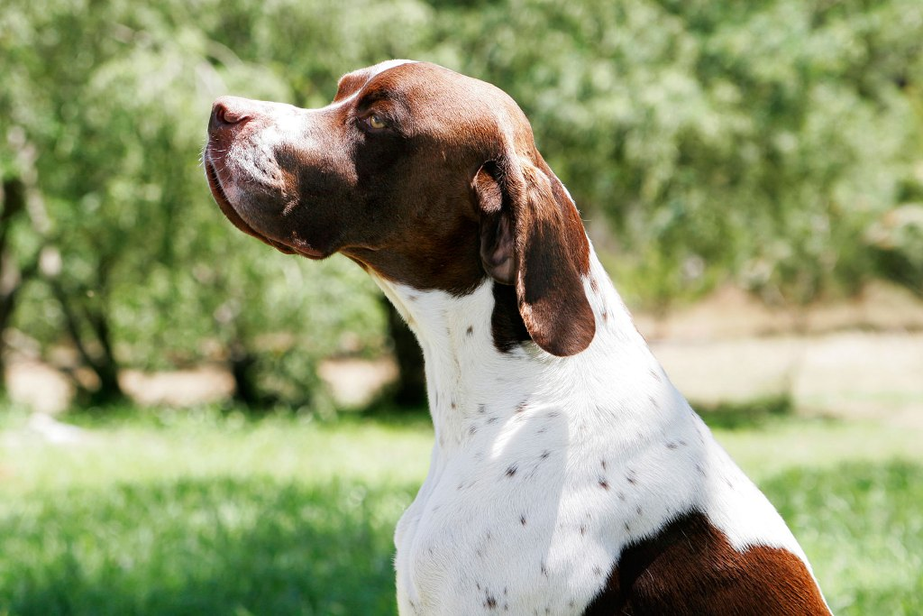 "Pointer-Dog-""The-Perfect-Choice-for-Hunters""-7 7 Exciting Pointer Dog Breed Facts ""The Perfect Choice for Hunters"""