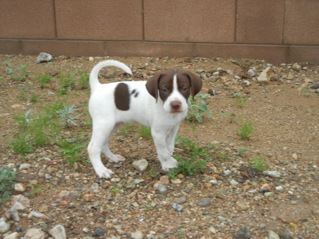"Pointer-Dog-""The-Perfect-Choice-for-Hunters""-8 7 Exciting Pointer Dog Breed Facts ""The Perfect Choice for Hunters"""