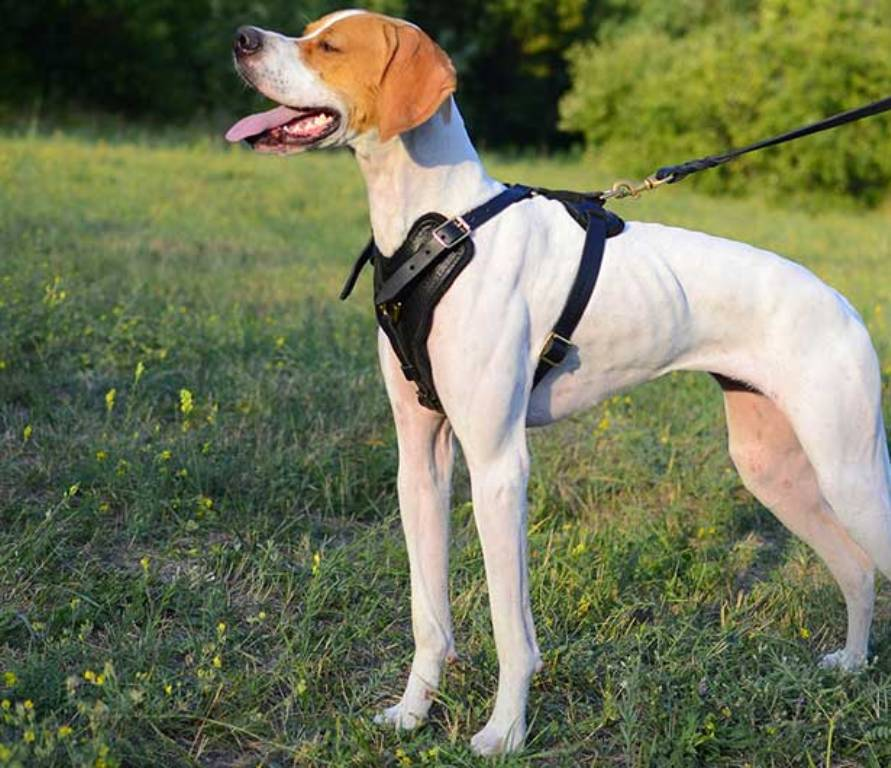 "Pointer-Dog-""The-Perfect-Choice-for-Hunters""-9 7 Exciting Pointer Dog Breed Facts ""The Perfect Choice for Hunters"""