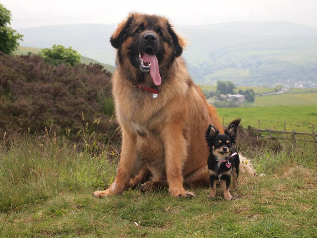 """The-Giant-Leonberger-Dog-""""The-New-Lion""""-1 5 Hottest Facts About Giant Leonberger Dog """"The New Lion"""""""