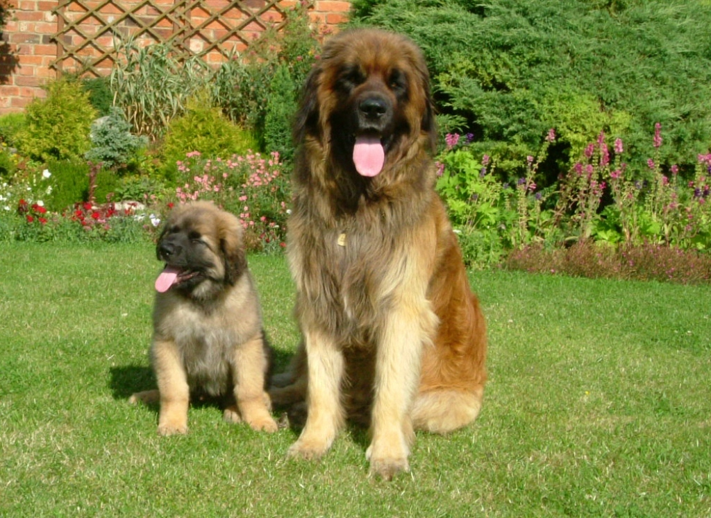 """The-Giant-Leonberger-Dog-""""The-New-Lion""""-11 5 Hottest Facts About Giant Leonberger Dog """"The New Lion"""""""