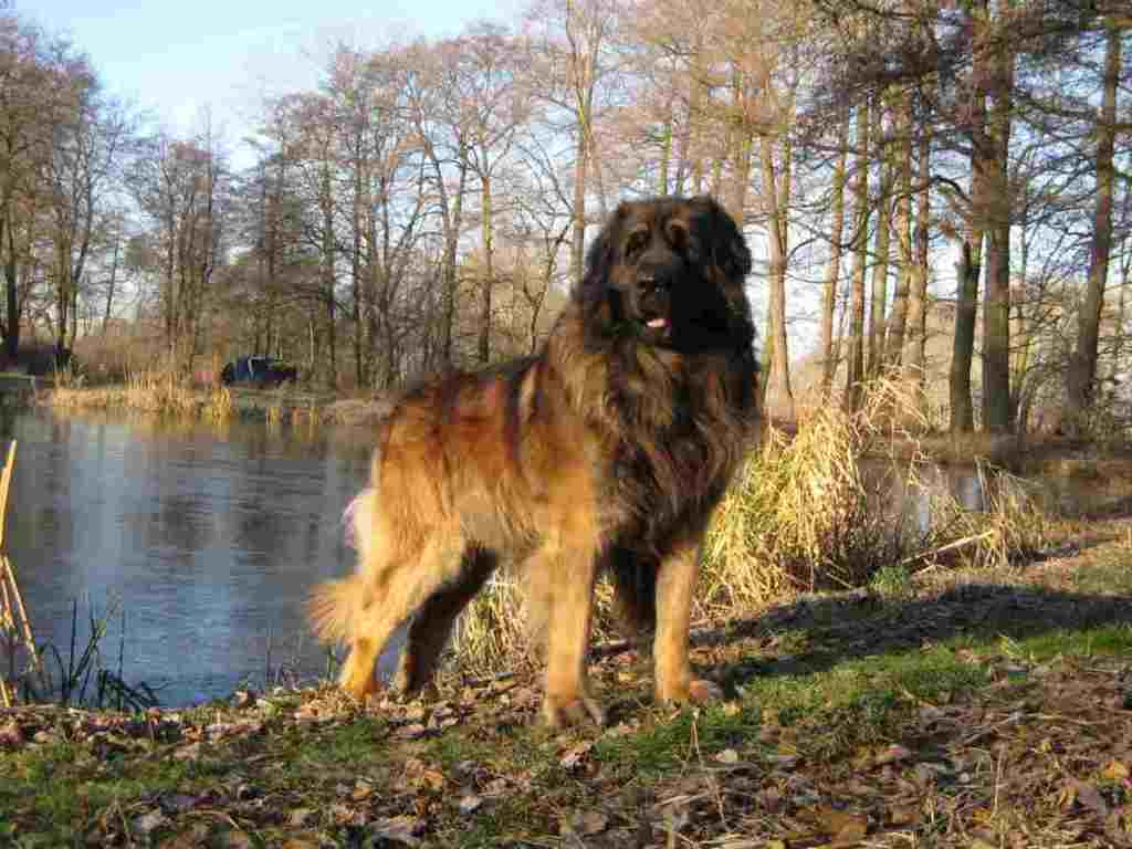 "The-Giant-Leonberger-Dog-""The-New-Lion""-12 5 Hottest Facts About Giant Leonberger Dog ""The New Lion"""