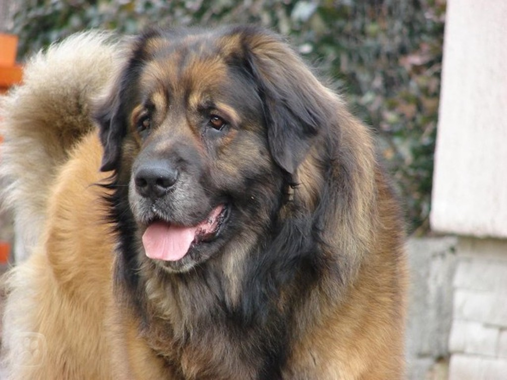 "The-Giant-Leonberger-Dog-""The-New-Lion""-13 5 Hottest Facts About Giant Leonberger Dog ""The New Lion"""