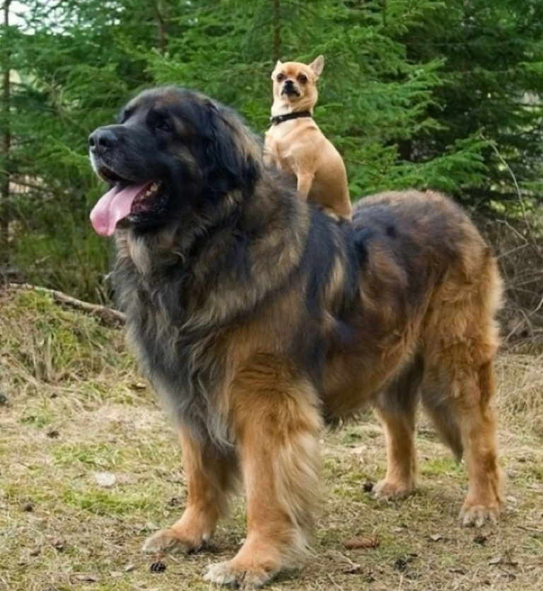 """The-Giant-Leonberger-Dog-""""The-New-Lion""""-14 5 Hottest Facts About Giant Leonberger Dog """"The New Lion"""""""