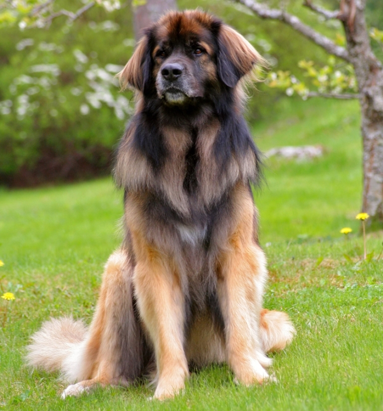 "The-Giant-Leonberger-Dog-""The-New-Lion""-16 5 Hottest Facts About Giant Leonberger Dog ""The New Lion"""