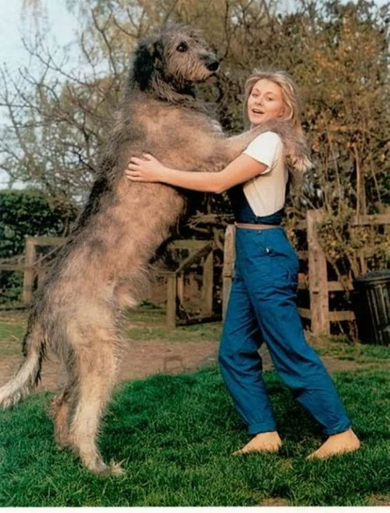 "The-Giant-Leonberger-Dog-""The-New-Lion""-17 5 Hottest Facts About Giant Leonberger Dog ""The New Lion"""