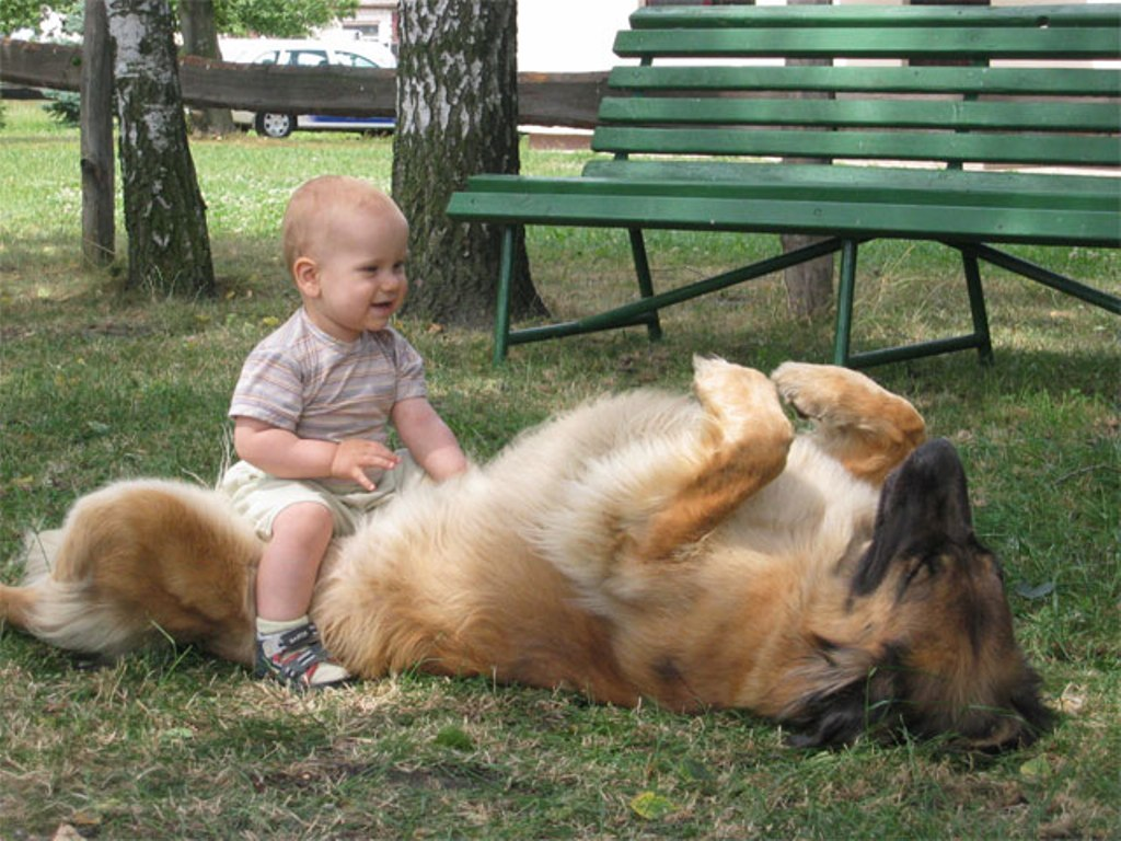 "The-Giant-Leonberger-Dog-""The-New-Lion""-18 5 Hottest Facts About Giant Leonberger Dog ""The New Lion"""
