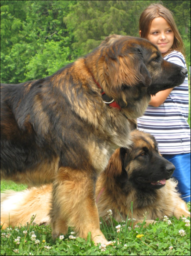 """The-Giant-Leonberger-Dog-""""The-New-Lion""""-19 5 Hottest Facts About Giant Leonberger Dog """"The New Lion"""""""