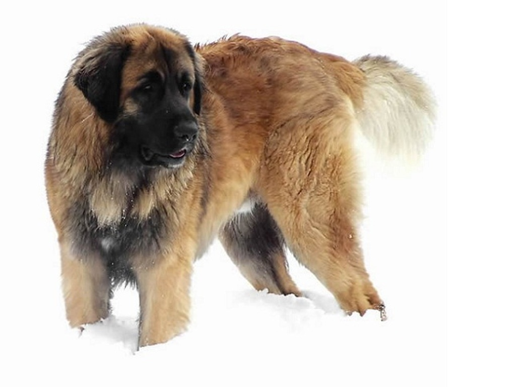 "The-Giant-Leonberger-Dog-""The-New-Lion""-2 5 Hottest Facts About Giant Leonberger Dog ""The New Lion"""