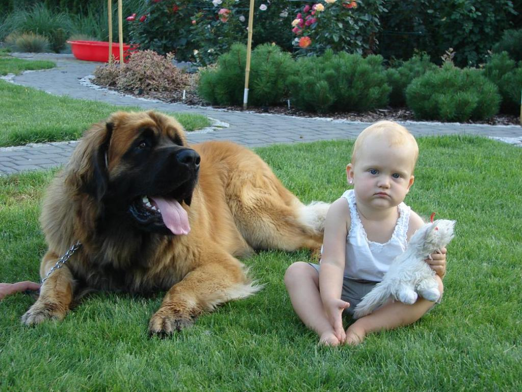 """The-Giant-Leonberger-Dog-""""The-New-Lion""""-21 5 Hottest Facts About Giant Leonberger Dog """"The New Lion"""""""