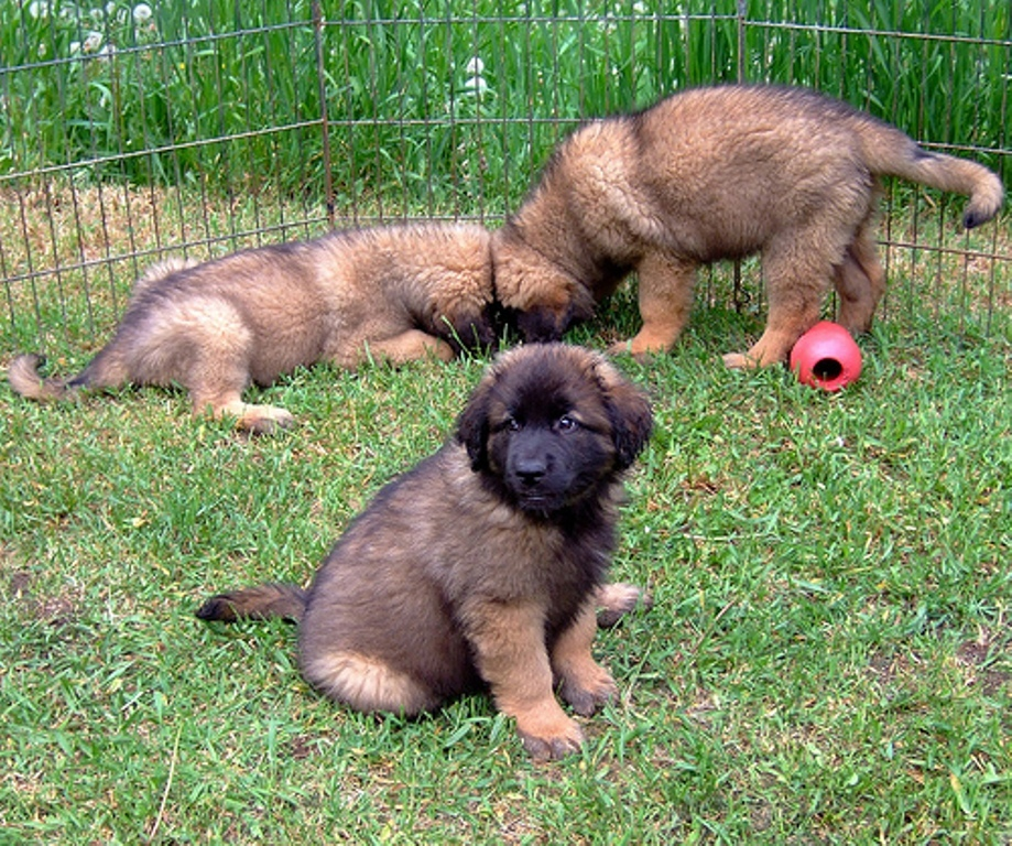 """The-Giant-Leonberger-Dog-""""The-New-Lion""""-22 5 Hottest Facts About Giant Leonberger Dog """"The New Lion"""""""