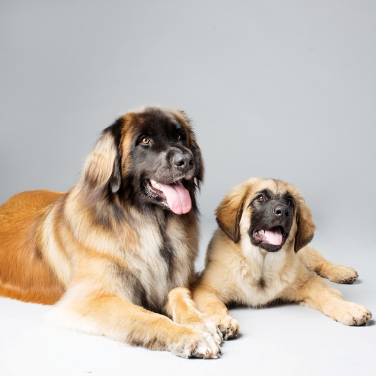 "The-Giant-Leonberger-Dog-""The-New-Lion""-24 5 Hottest Facts About Giant Leonberger Dog ""The New Lion"""