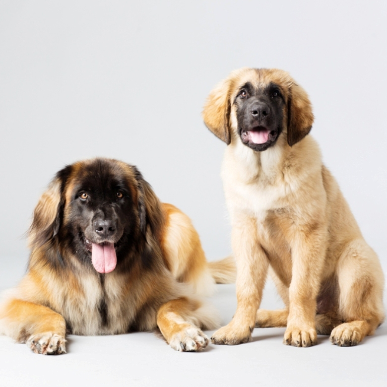 "The-Giant-Leonberger-Dog-""The-New-Lion""-25 5 Hottest Facts About Giant Leonberger Dog ""The New Lion"""