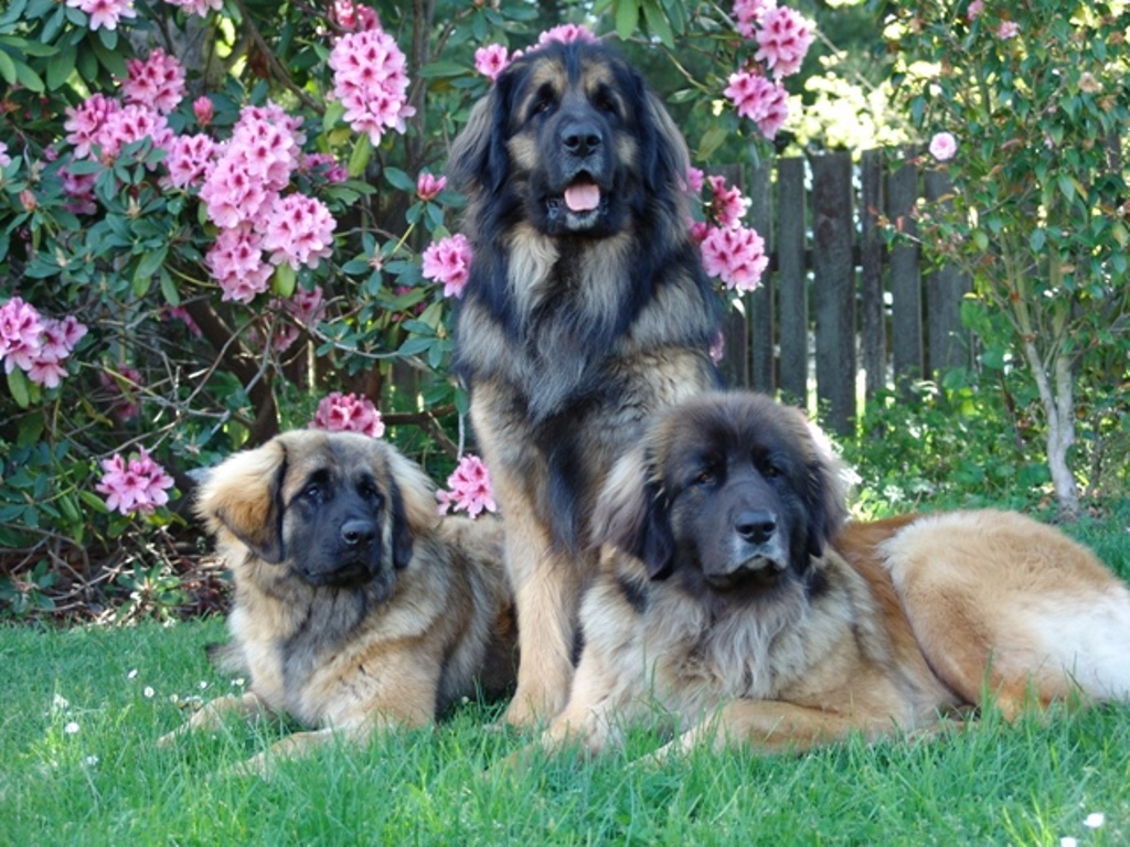 "The-Giant-Leonberger-Dog-""The-New-Lion""-26 5 Hottest Facts About Giant Leonberger Dog ""The New Lion"""