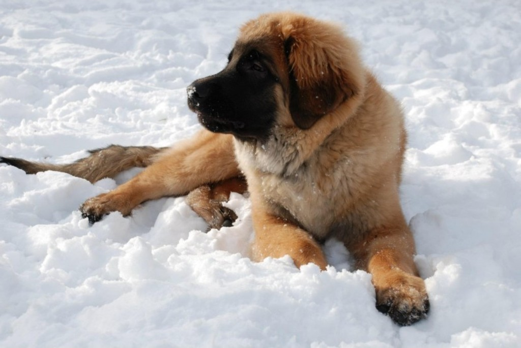 """The-Giant-Leonberger-Dog-""""The-New-Lion""""-27 5 Hottest Facts About Giant Leonberger Dog """"The New Lion"""""""