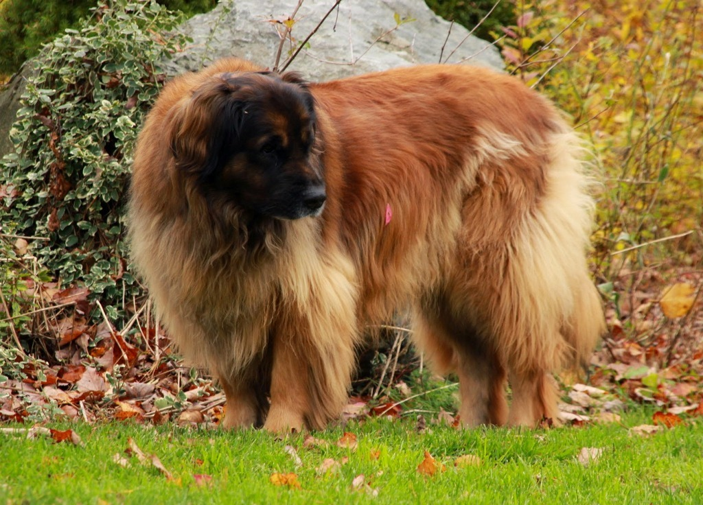 """The-Giant-Leonberger-Dog-""""The-New-Lion""""-29 5 Hottest Facts About Giant Leonberger Dog """"The New Lion"""""""