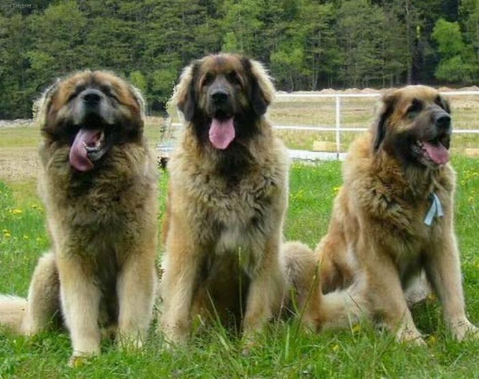 "The-Giant-Leonberger-Dog-""The-New-Lion""-30 5 Hottest Facts About Giant Leonberger Dog ""The New Lion"""