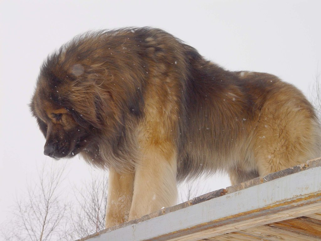 "The-Giant-Leonberger-Dog-""The-New-Lion""-32 5 Hottest Facts About Giant Leonberger Dog ""The New Lion"""